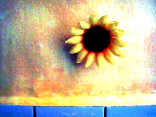 sonnenblume | köln 2007